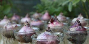 red onions on small clear glass bowls
